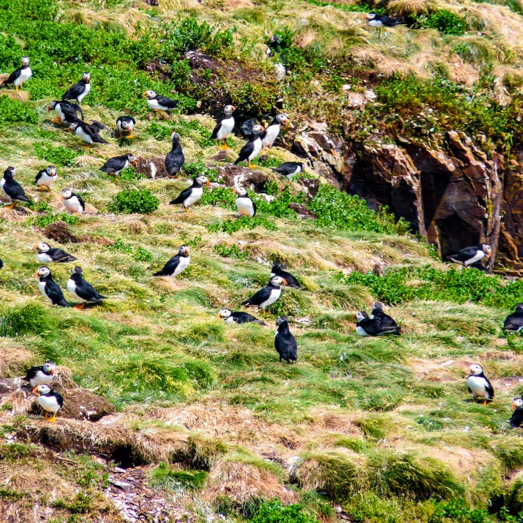 Canada 150 Bucket List - Elliston Puffins - One Red Phone Box